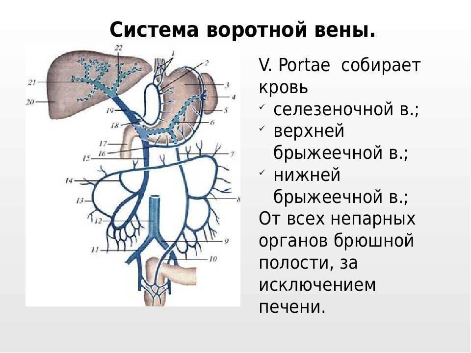 воротная система печени человека