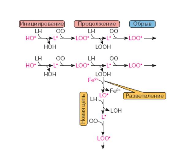 Процесс окисления липидов в организме