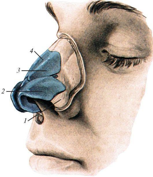 Строение носа человека - анатомия наружной части, внутренней полости и пазух в схемах и фото