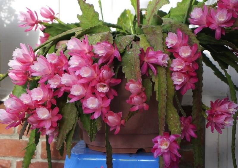 Кактус эпифиллум: как правильно выращивать очаровательный цветок