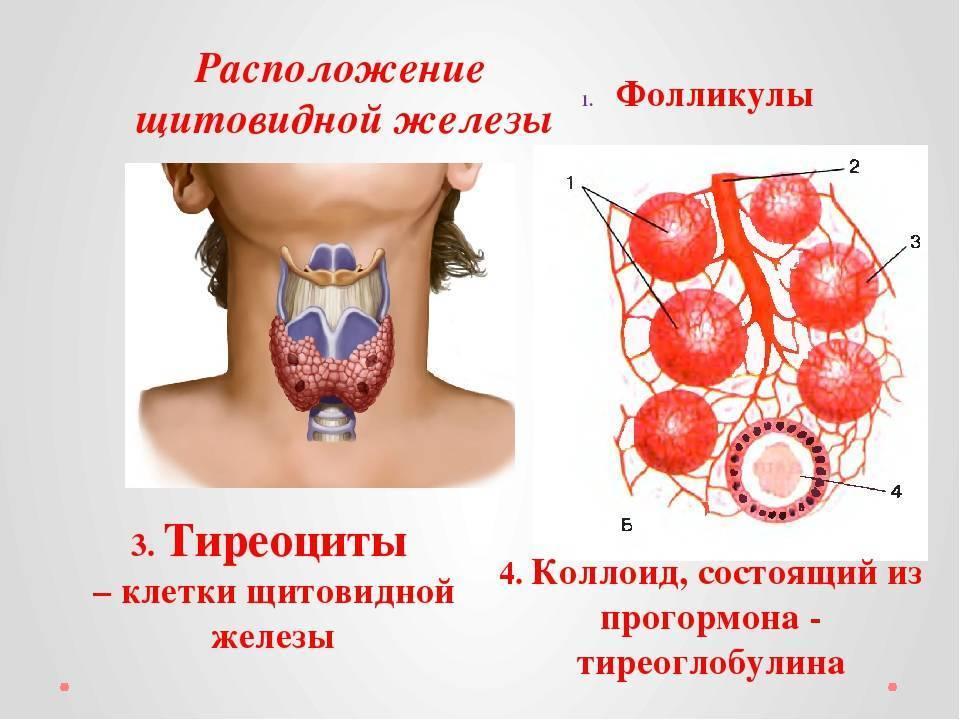 фолликулы в щитовидной железе что это