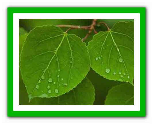 Листья осины лечебные свойства при геморрое