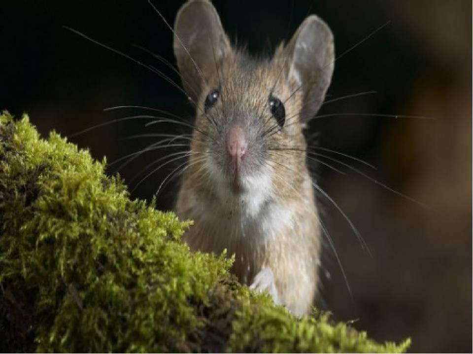 Боязнь мышей: описание сурифобии или мусофобии. как преодолеть страх перед грызунами?