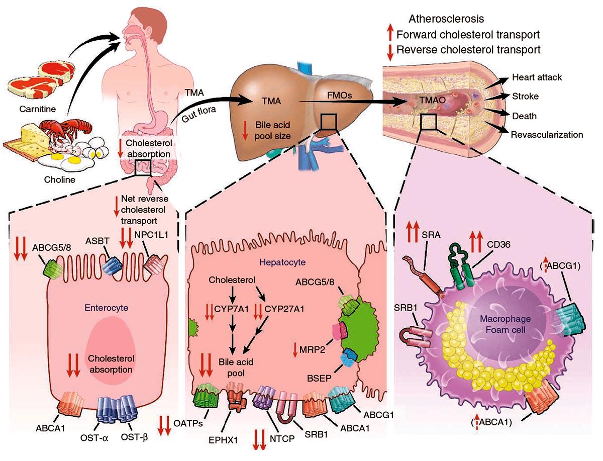 L-карнитин: стройная фигура и атеросклероз в нагрузку?
