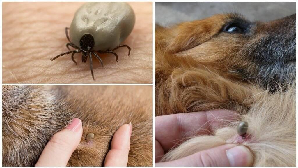 Первые признаки пироплазмоза у собак - бабезиоз у собак - лапы и хвост