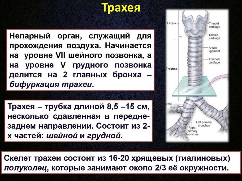 Трахея — строение, функции, патологии, воспаление, интубация