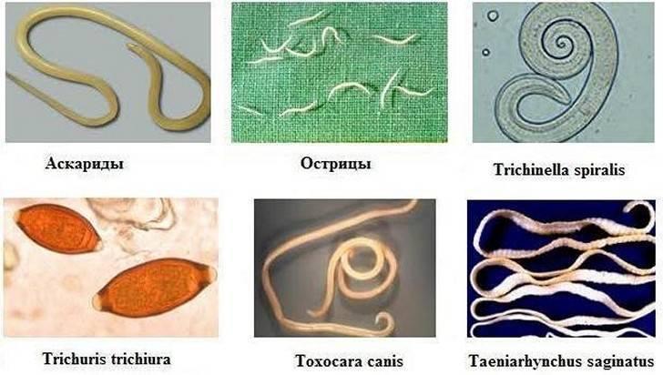 Сколько живут острицы в человеческом организме