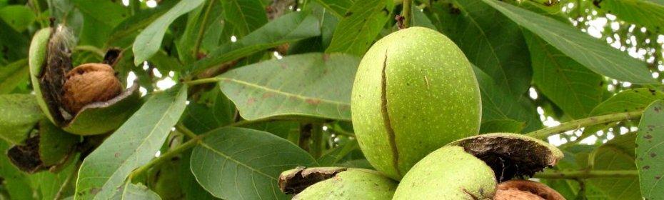 Щитовидная железа лечение народными средствами грецкие орехи
