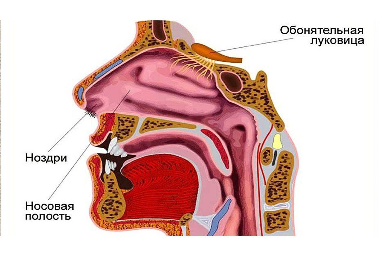 анатомия носа человека