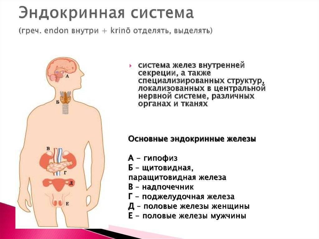 Что такое эндокринная система человека и ее основные функции