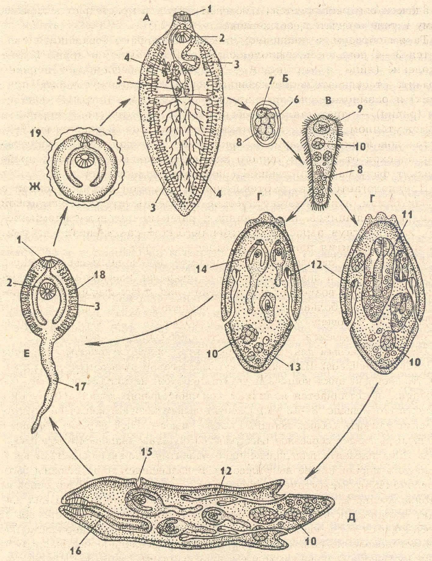 Паразитарный червь - parasitic worm