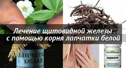 лапчатка белая корень применение лечение щитовидной железы