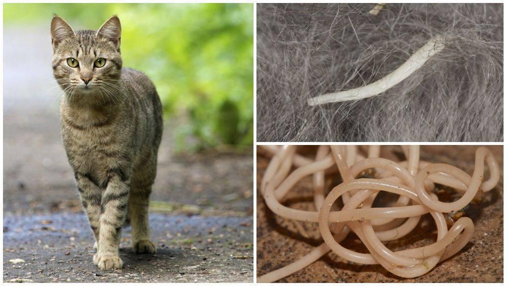 кошачьи глисты опасны для человека