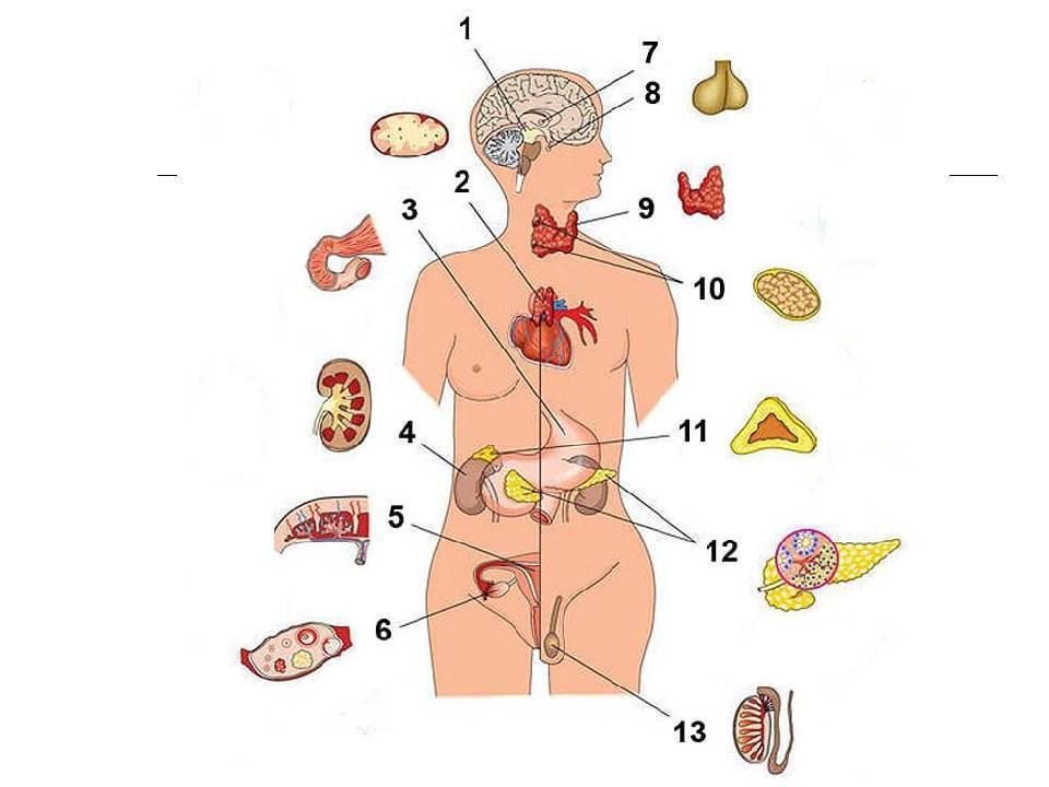 что такое эндокринные железы