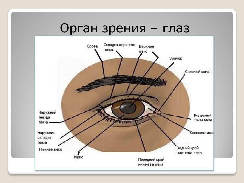 Строение и функции органа зрения человека | витапортал - здоровье и медицина
