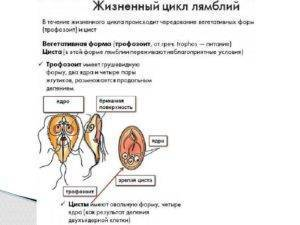 Проявление и лечение лямблий при беременности