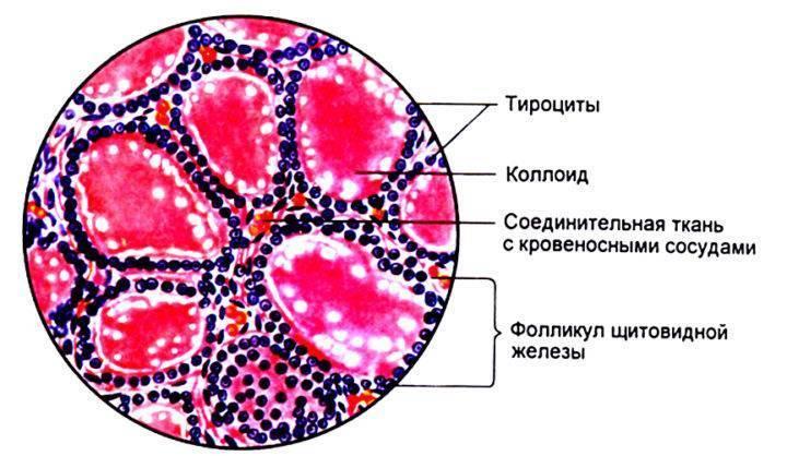 фолликул щитовидной железы