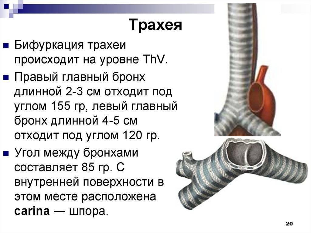 Острый и хронический трахеит - лечение, симптомы