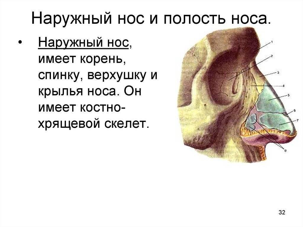 Нос: придаточные пазухи носа. описание, строение, диагностика и лечение
