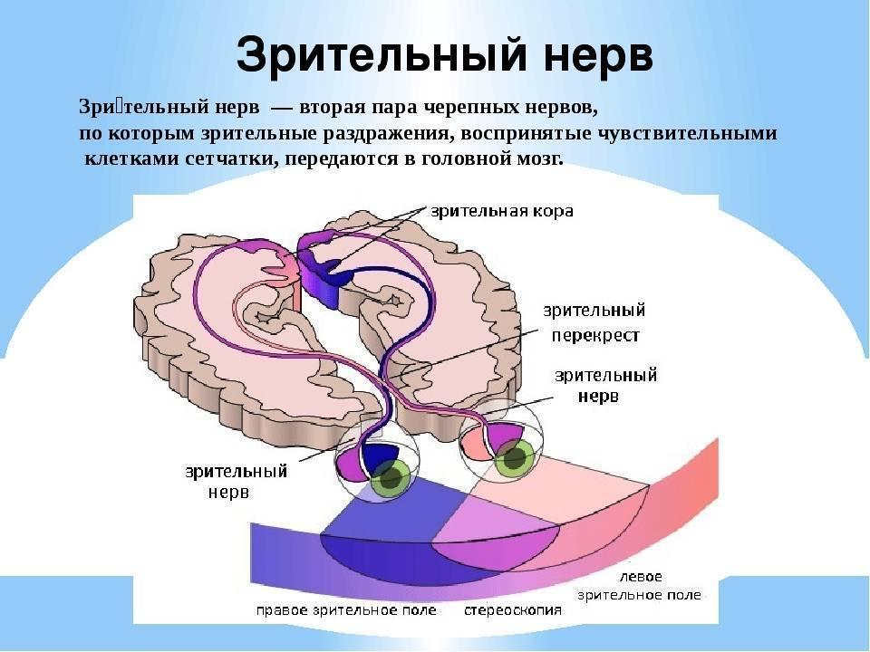 анатомия зрительного нерва