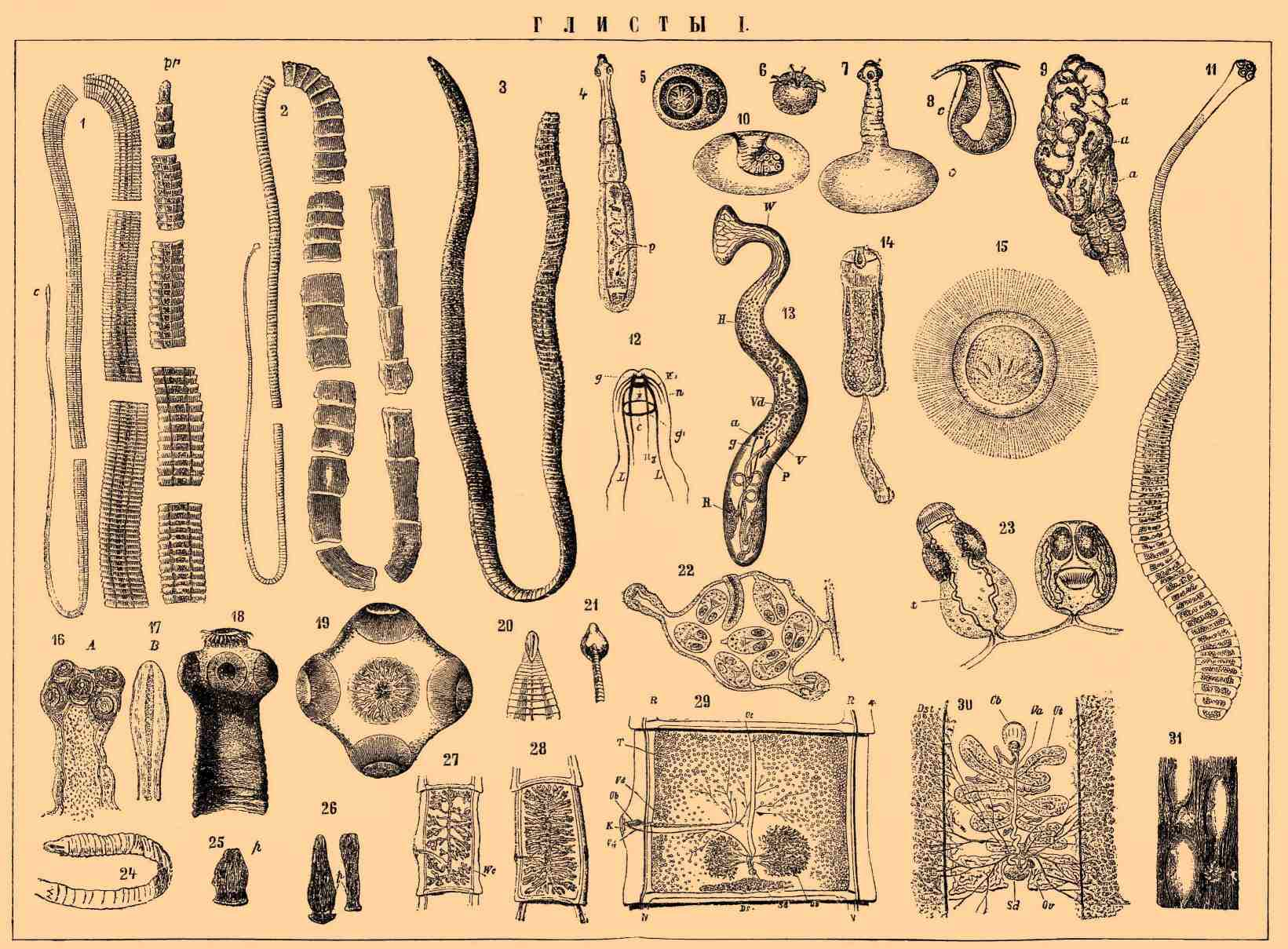 классификация гельминтов