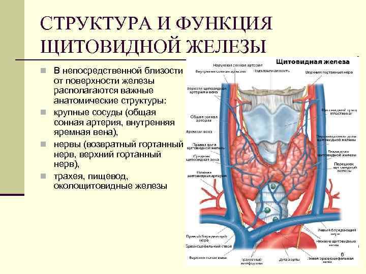 трахея щитовидная железа
