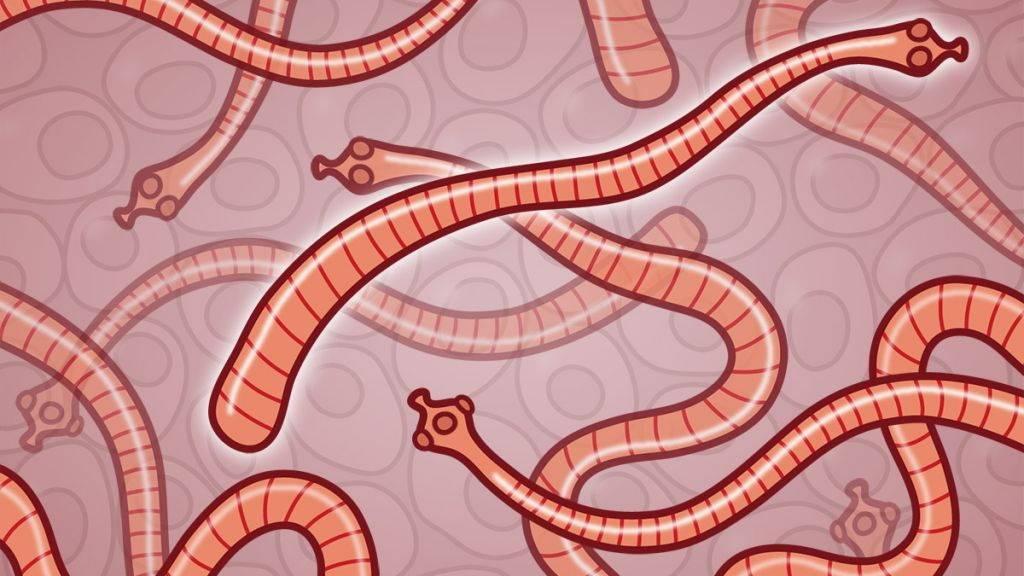 Карликовый цепень: жизненный цикл, симптомы и лечение