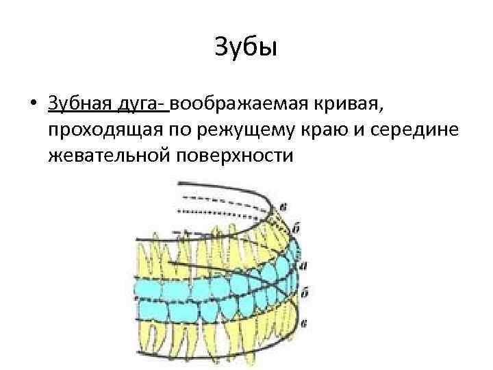 лицевые дуги