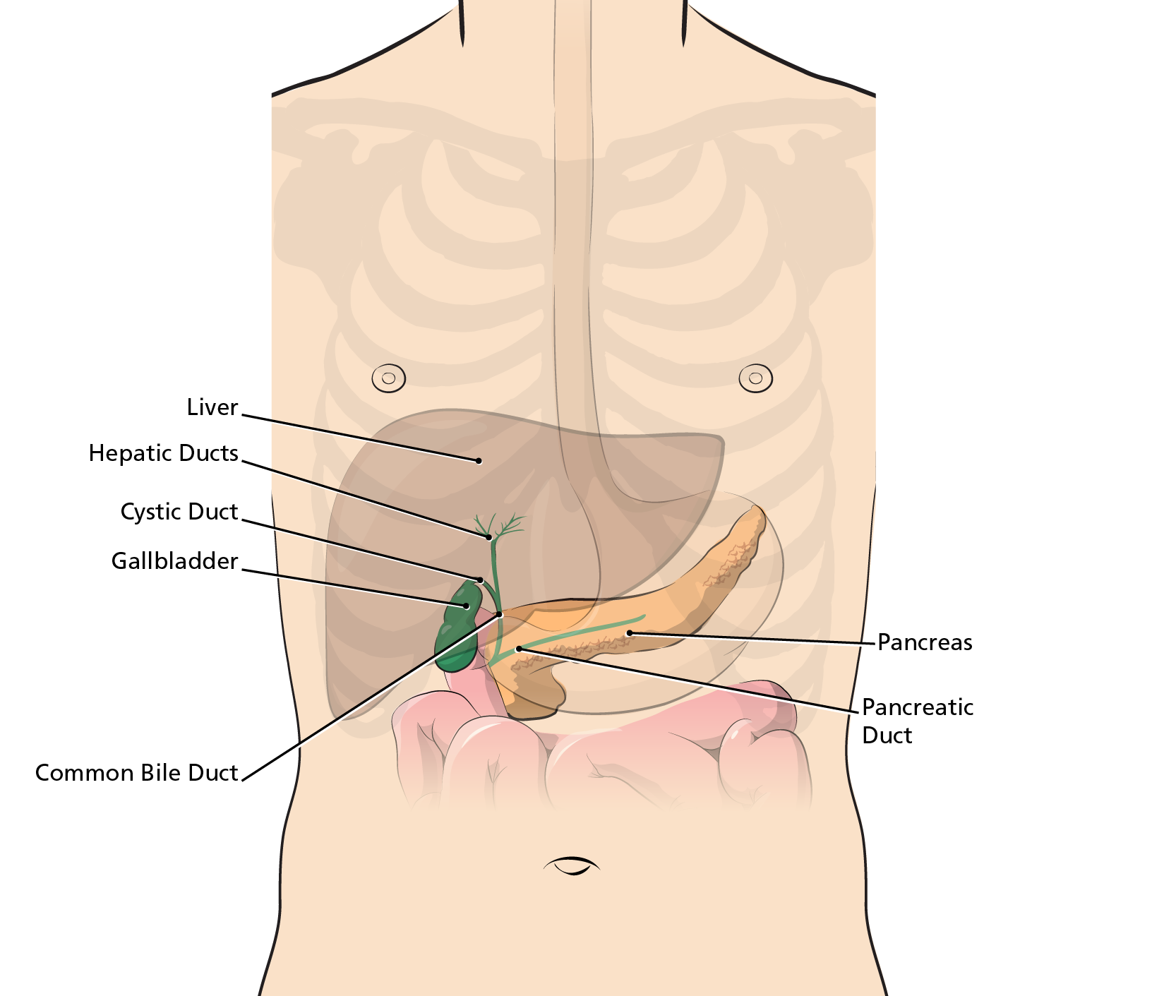 Где находится желчный пузырь у человека, как болит, симптомы и причины