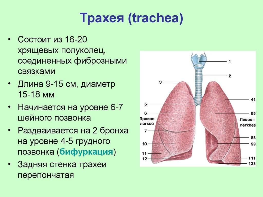 что такое трахея