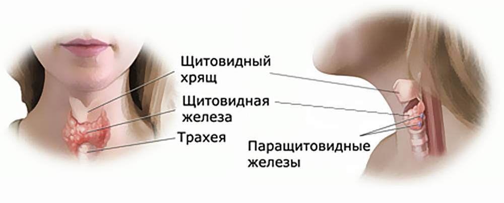 где щитовидка