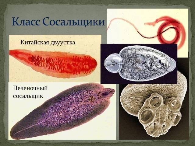 Кошачий, кровяной и другие виды паразитов-сосальщиков, их жизненный цикл и опасность для человека