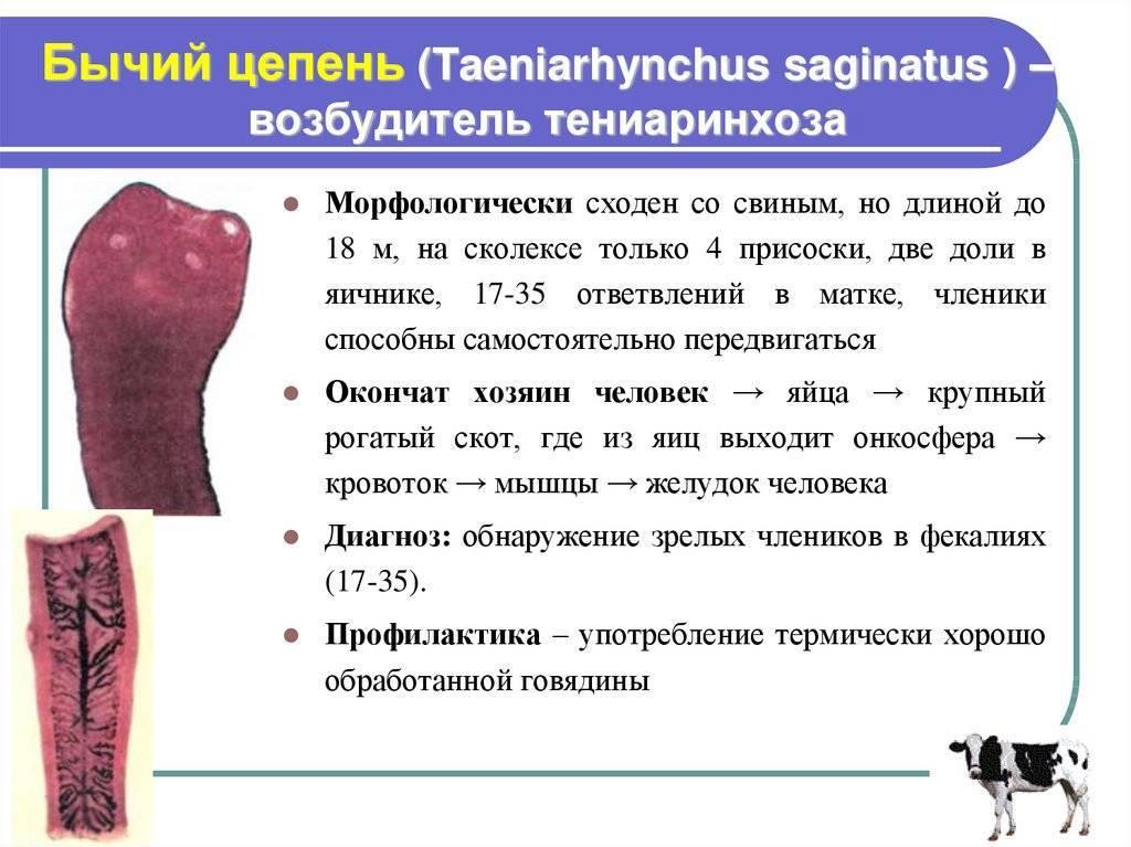 Диагностика бычьего цепня (тениаринхоза)