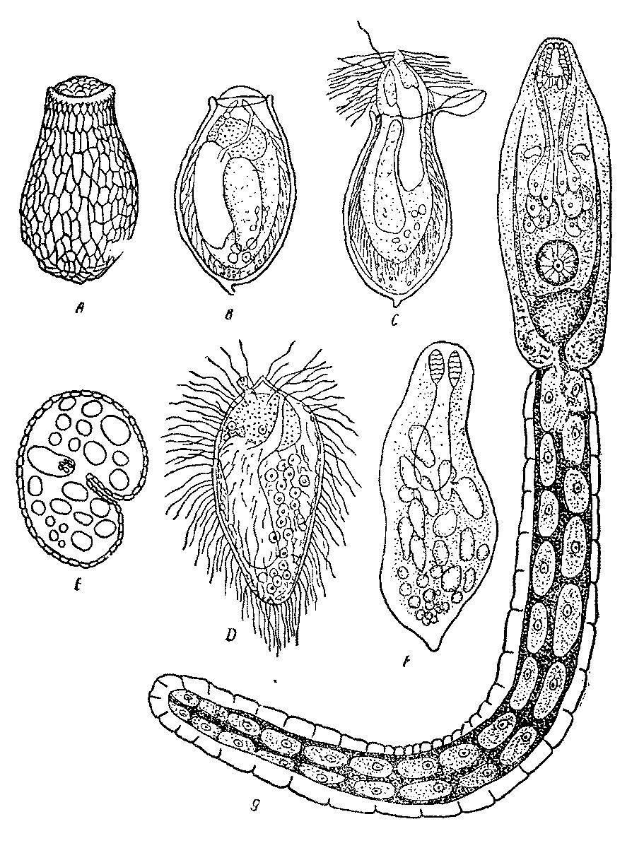 клонорхис синенсис