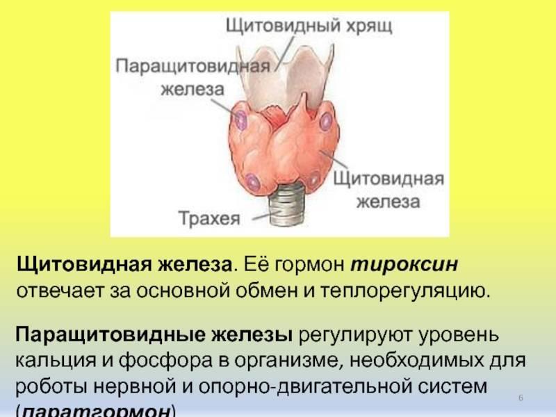 Гормон паращитовидных желез и его функции: таблица