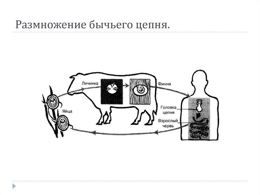 Бычьи цепни: жизненный цикл. бычий цепень у человека: симптомы