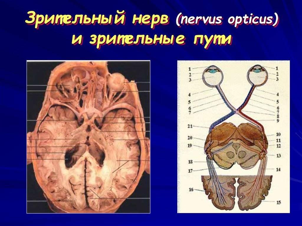 зрительный нерв функции