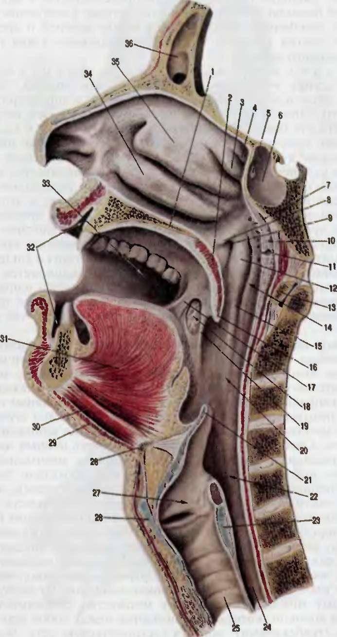 устройство горла человека