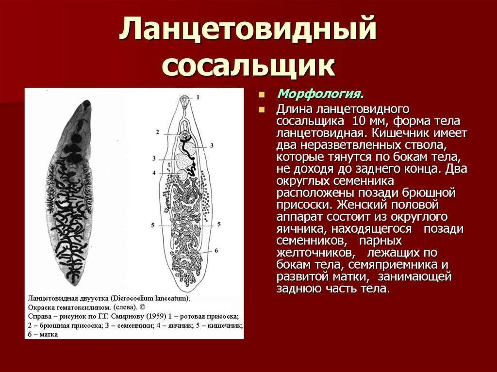 Ланцетовидный сосальщик: жизненный цикл, строение и как избавиться | все о паразитах