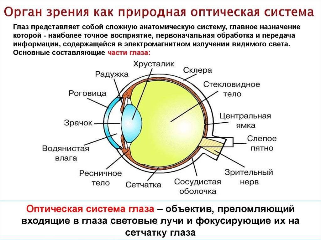 Строение глаза человека, функция органа зрения