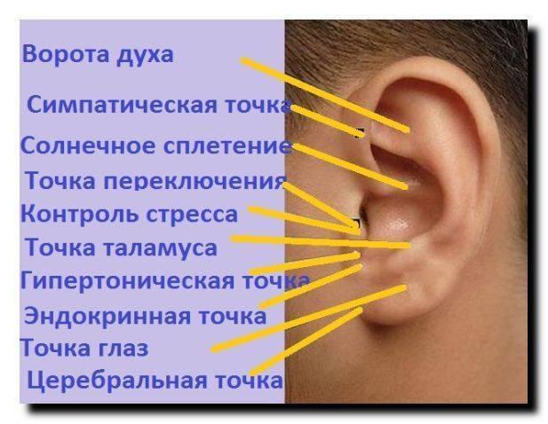 Все точки на ухе отвечающие за позвоночника
