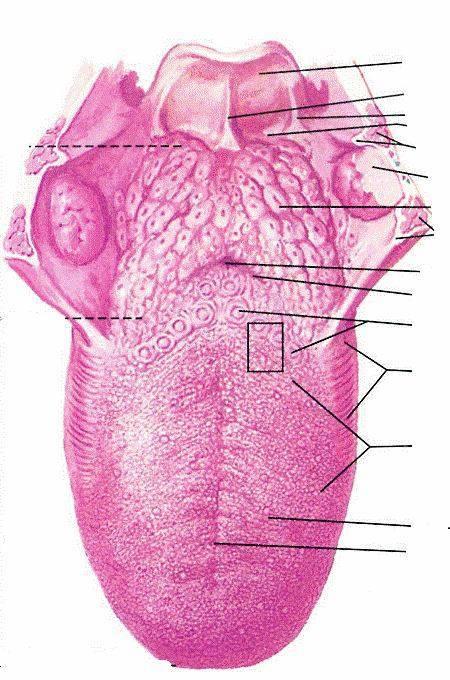 Причины воспаления язычковой миндалины