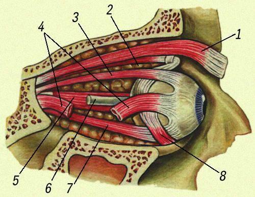 Мышцы головы. мимические мышцы или мышцы лица