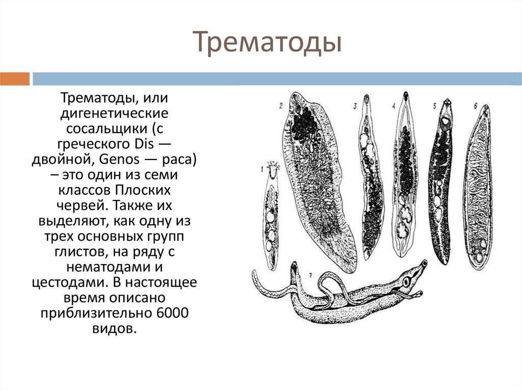 Трематоды у человека: класс сосальщики, симптомы и лечение