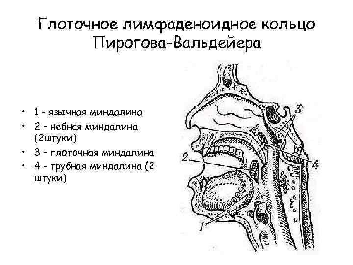 Носоглоточная миндалина у взрослых