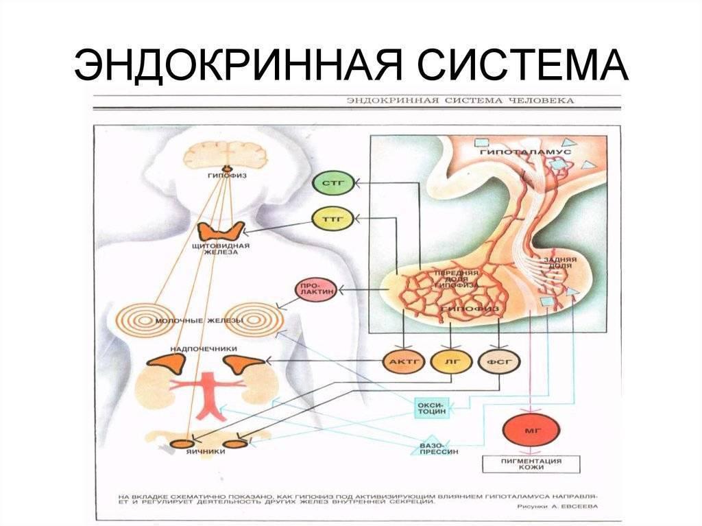 эндокринная система человека что это такое