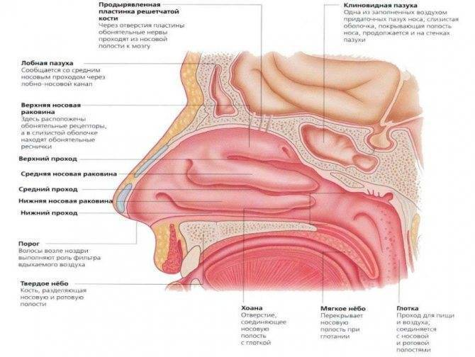 как восстановить слизистую носа в домашних условиях