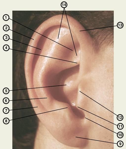 Болит ушной козелок. козелок уха: что это такое и где находится