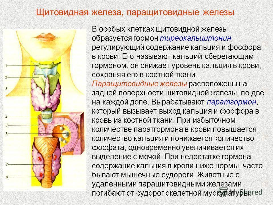 Что вырабатывает околощитовидная железа. о гормонах паращитовидной железы нужно помнить! функция паращитовидных желёз