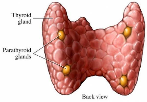 Паращитовидная железа: роль в организме, гормоны, анатомия, размеры, лечение